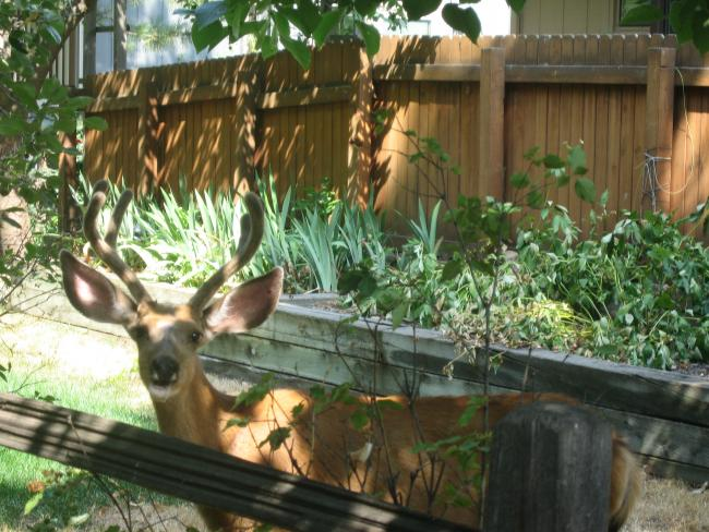 Mule Deer in Someone's Backyard